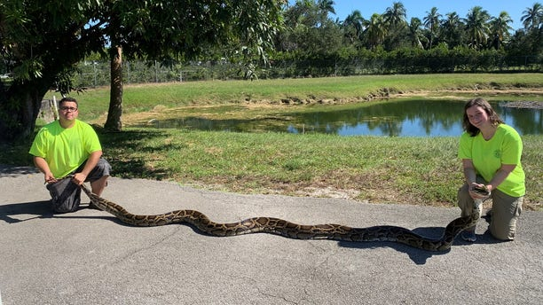 The Florida Fish and Wildlife Conservation Commission's Python Action Team caught its largest snake last month. (Florida Fish and Wildlife Conservation Commission)