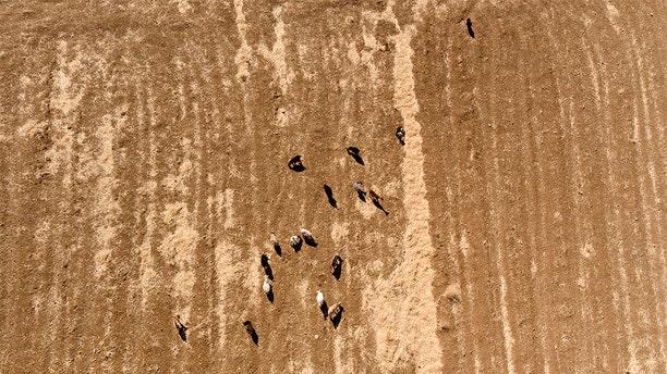 Goats grazing in a farm on Samothraki island, northeastern Greece, in September.