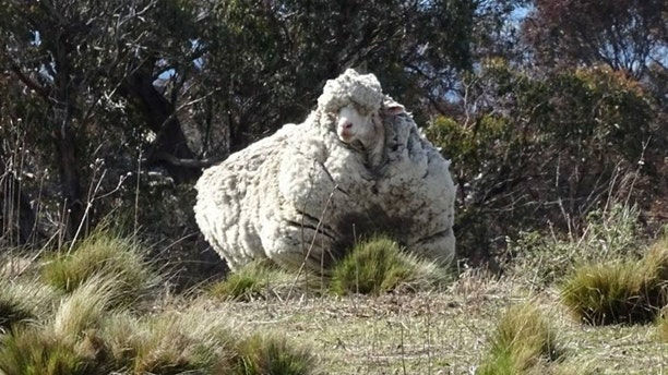 Chris the woolly sheep is seen in this undated picture from social media obtained by Reuters on October 22, 2019.