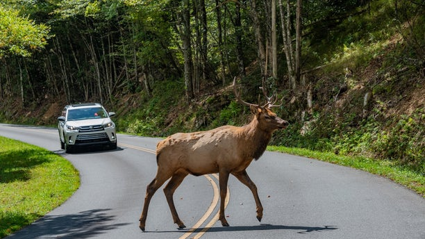 A bull elk is seen crossing the road on Heintooga Spur Road, in North Carolina, in a photo shared by Blue Ridge Parkway NPS.