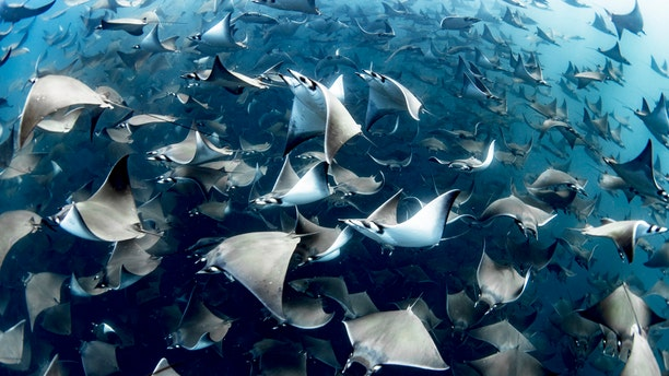 It's rare to see so many rays in such perfect visibility and the encounter saw the creatures at varying depths, ranging from the surface, down to 100 feet. (Credit: SWNS)