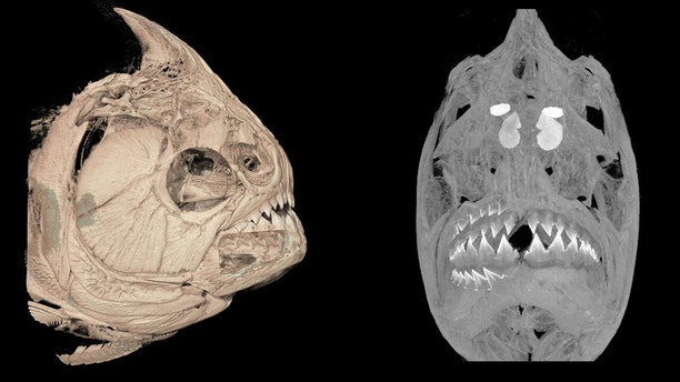 A CT-scanned image of the piranha Serrasalmus medinai. Note the ingested fish fins in its stomach. Credit: University of Washington