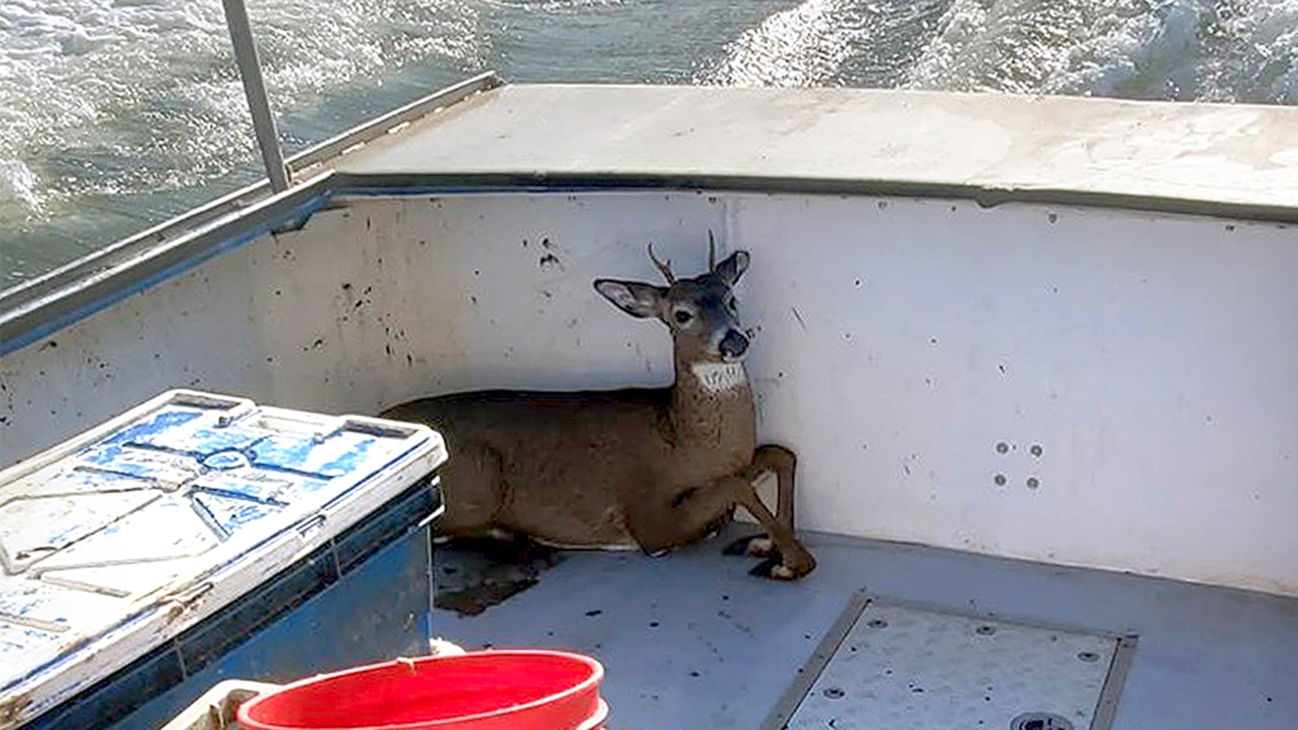 The rescued deer rests in a boat on its way back to shore. (Jared Thaxter via AP)