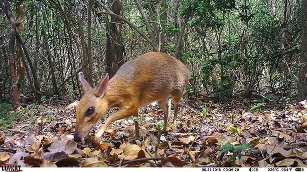 A silver-backed chevrotain was caught on a camera trap as it wandered about the forest. (Credit: Originally published on Live Science.)