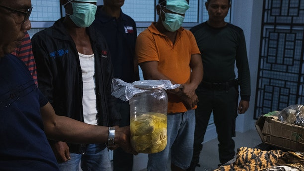 A skin and four Sumatran tiger fetuses secured from by officers from poachers in Indonesia over the weekend.