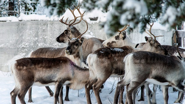 In this Saturday, Nov. 30. 2019 photo, reindeer in a corral at Lappeasuando near Kiruna await to be released onto the winter pastures. (AP Photo/Malin Moberg)