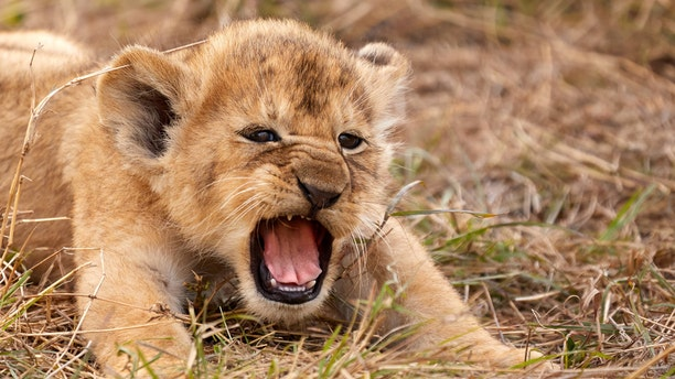 A little lion cub just weeks old has his first big roar in Serengeti National Park, Tanzania. (Credit: SWNS)