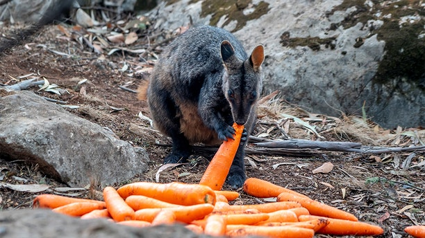 A wallaby eating a carrot after NSW's National Parks and Wildlife Service staff air-dropped them in bushfire-stricken areas around Wollemi and Yengo National Parks, New South Wales, Australia.