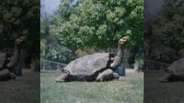 The famed Galapagos giant tortoise named Diegofathered 40 percent of all tortoises on Espanola Island in the Galapagos.