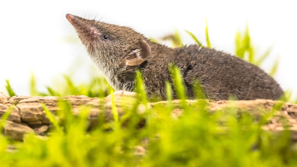 A white-toothed shrew.