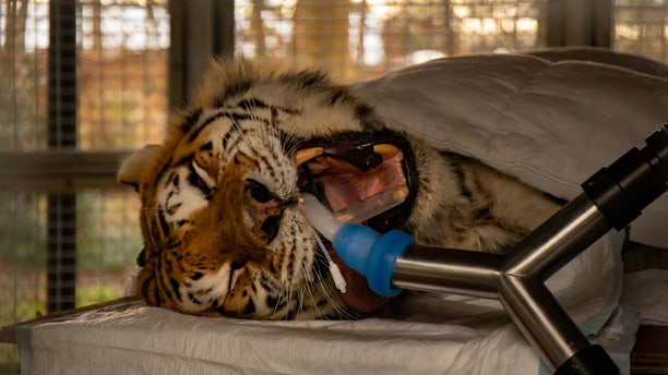 This photo shows a giant Siberian tiger undergoing a root canal surgery.