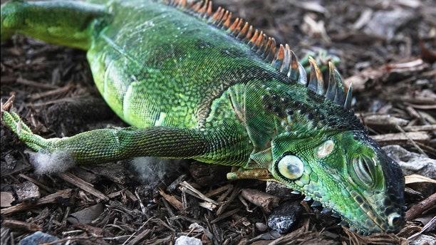 A stunned iguana lies in the grass at Cherry Creek Park in Oakland Park, Fla., Wednesday, Jan. 22, 2020.