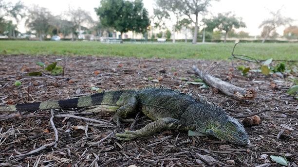 A stunned iguana lies in the grass at Cherry Creek Park in Oakland Park, Fla., Wednesday, Jan 22, 2020.