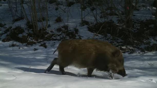 Wildlife has thrived amid the devastation in Fukushima,