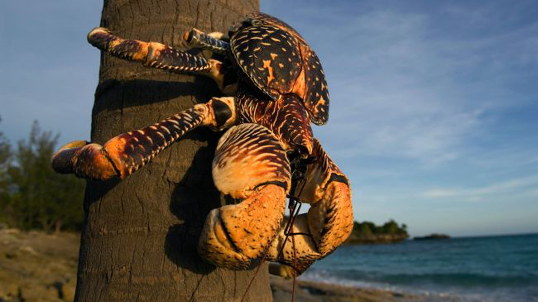 The giant coconut crab (Birgus latro) is the biggest terrestrial crab in the world. (Credit: The Africa Image Library/Alamy)