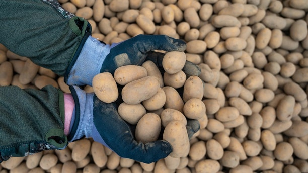 Per Morten Haram, organic farmer, holds potatoes of the Ditta variety in his hands. The Corona crisis has significantly increased the demand for potatoes last week.