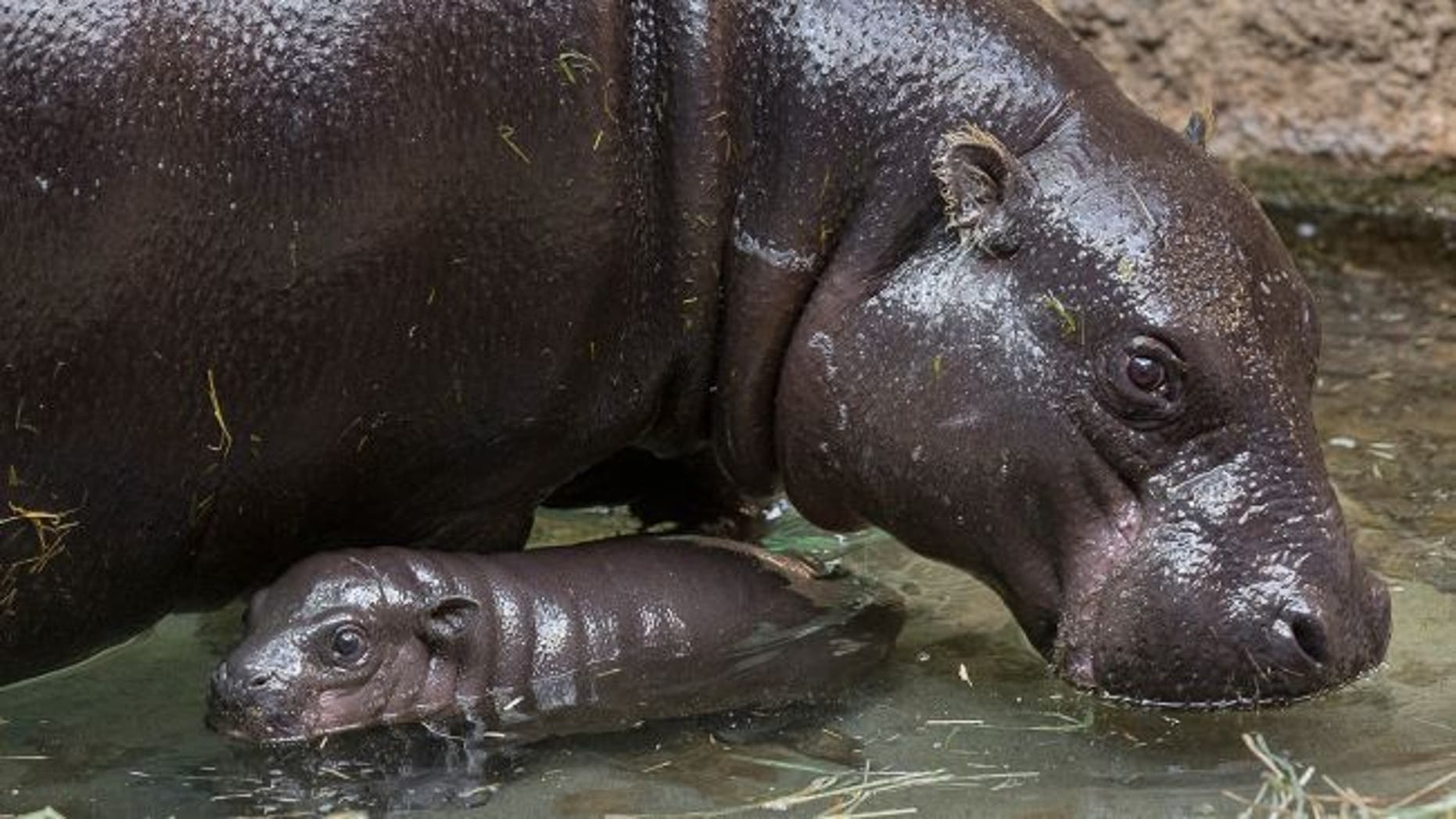 "A coating of ""blood sweat"" protects the hippos' skin from drying out. (Credit: San Diego Zoo)"