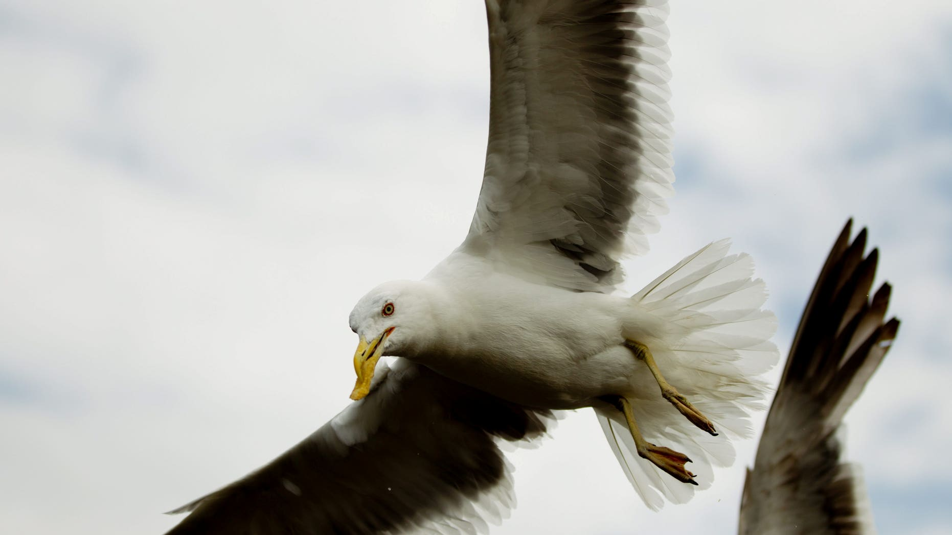"""The dive-bombing gulls – branded """"vicious flying rats"""" – have been a menace for people living in Worcester for years."""