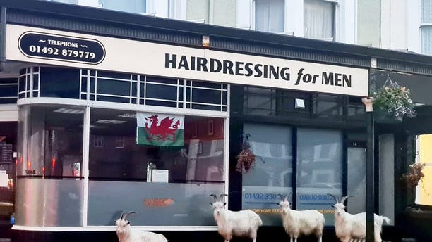 """Mountain goats in Llandudno headed to a barbers in anticipation of a quick trim. (Credit: SWNS)"""""""