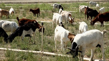 Goats help prevent wildfires