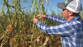 Iowa farmers say derecho destroyed chances of major profit: 'It's gut-wrenching'