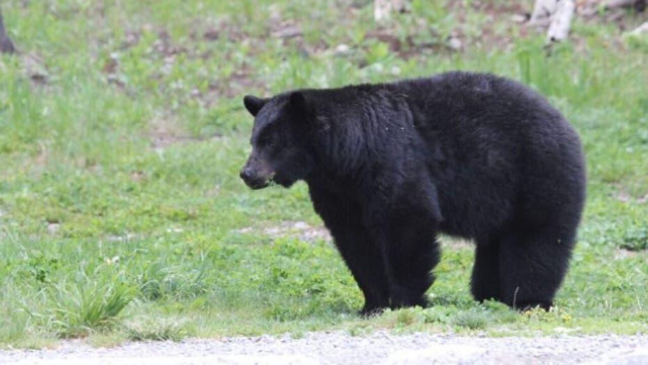 Canada bear kills woman as son witnesses