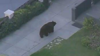 Bear loose near elementary school in Monrovia, California