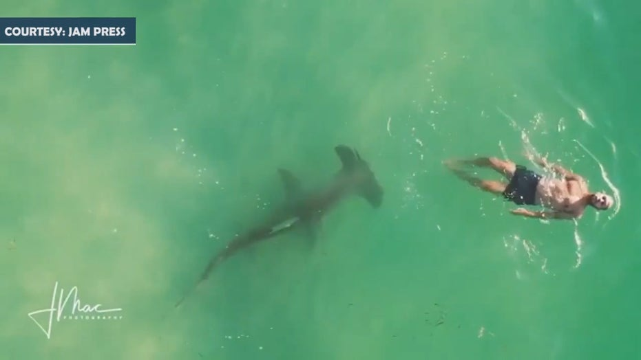 Hammerhead shark circles oblivious swimmer in chilling video