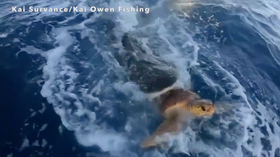 Fishermen rescue sea turtle from jaws of tiger shark, wild video shows