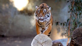 Reports of tiger on the loose near Oakland Zoo
