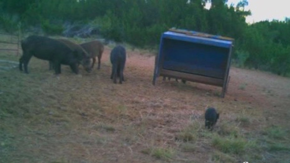 'Swine bomb' warning: Agriculture Department sounds alarm as wild hog population surges