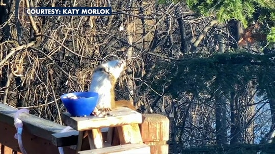 Squirrel gets drunk off bad pears, teeters on railing, Minnesota woman's video shows