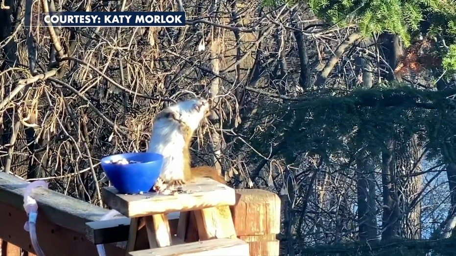 Squirrel gets drunk off bad pears, teeters on railing, video shows