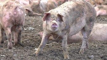 Las Vegas pig farm relying on food scraps from casinos struggles during coronavirus pandemic