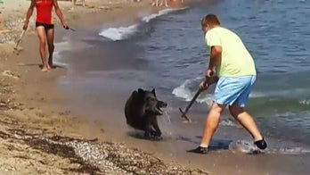 Wild boar gives German beachgoers a shock