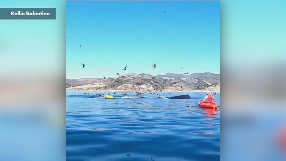 Humpback whale almost swallows kayakers in California