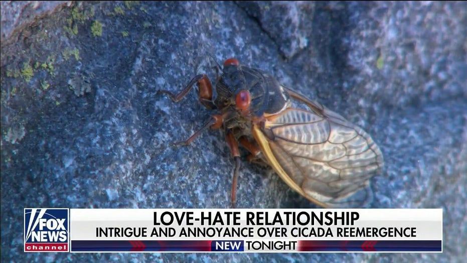 Cicadas are 'peeing' on communities across eastern US: report