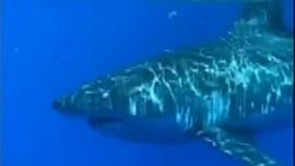 Florida fisherman shares up-close video of encounter with great white shark 20 miles off Jupiter Inlet