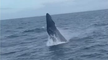 Humpback whale breaches water just yards away from fisherman's boat