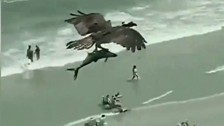 Viral video shows an osprey flying over beach with massive fish in its talons