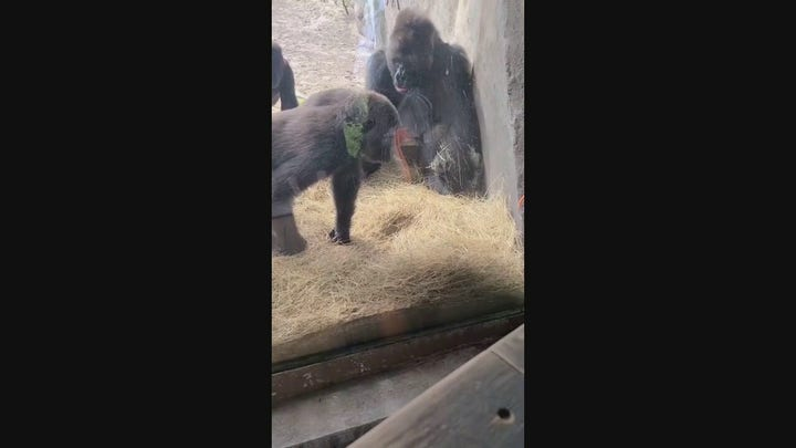 Gorillas don't know how to react when snake gets inside zoo enclosure