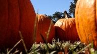 National pumpkin shortage