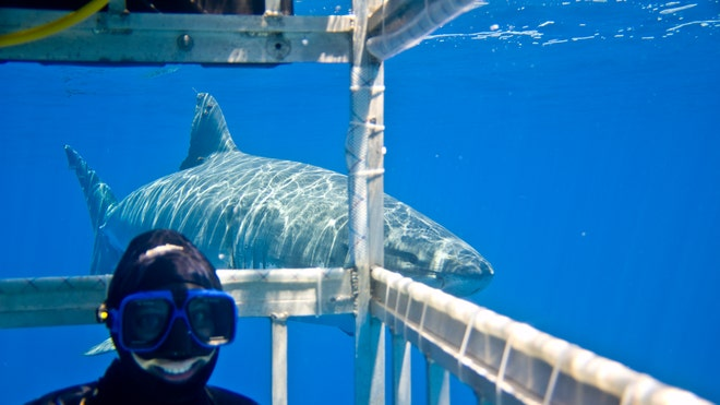Shark Diving Thrives, Saving Sharks Around the World