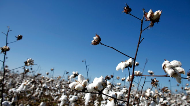 Cotton-Field-Birmingham-Alabama