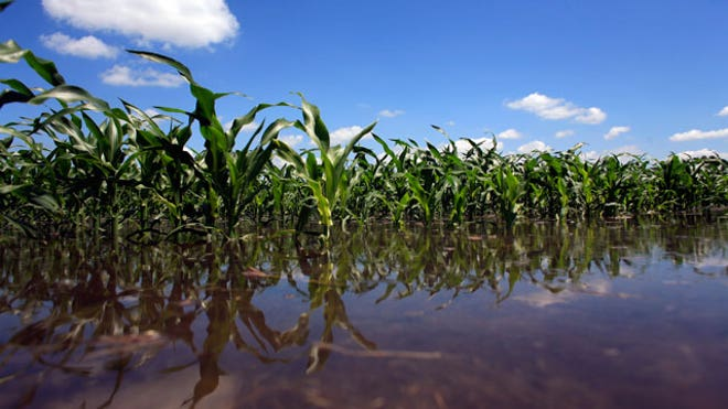 Flooded-Corn-Field