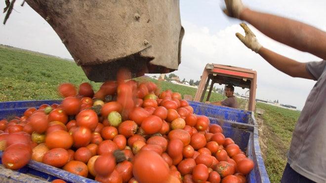 Tomato-Farm-Agriculture