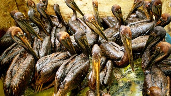 pelicans_oil