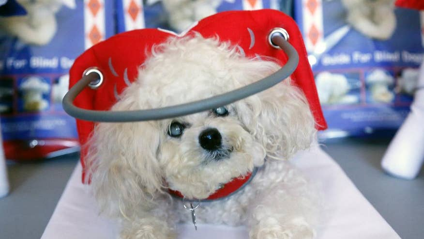 Halo Like Device That Protects Blind Dogs From Bumps