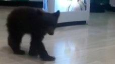 The cute bear cub found wandering the aisles of a Rite Aid on Oct.  will eventually be returned to the wild, according to officials at the Oregon Department of Fish and Wildlife (ODFW).