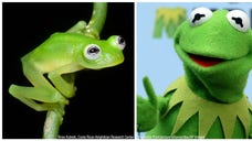 Kermit -- everyone's favorite singing and dancing frog might be real. Or, at least a frog that looks like Jim Henson's popular Muppet. The Costa Rican Amphibian Research Center just announced the discovery of a new glass frog species.